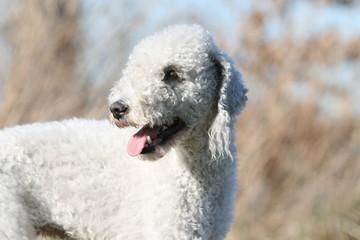 portrait d'un bedlington terrier blanc adulte à la campagne