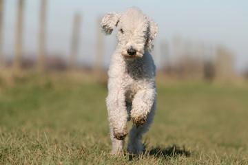 bedlington terrier blanc adulte courant de face