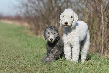 mère et chiot bedlington terrier à la campagne