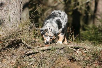 jeune berger australien actif en bord de forêt