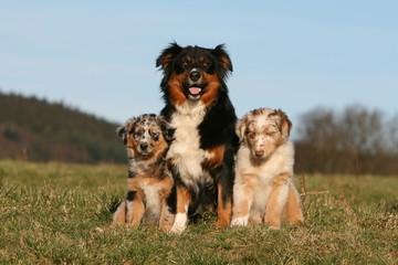 famille de bergers australiens assis de face à la campagne