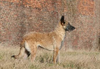 profil du berger belge laekenois immobile à la campagne