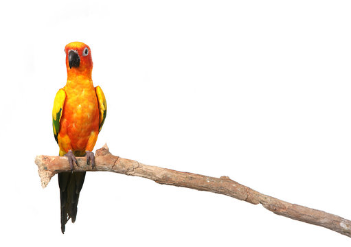Sun Conure Parrot on a Branch With Copy Space