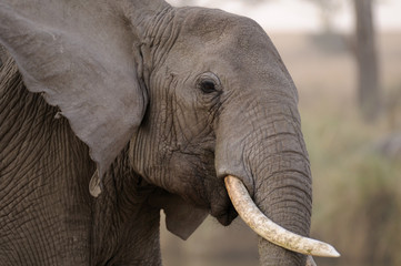 Tilted Tusker Elephant