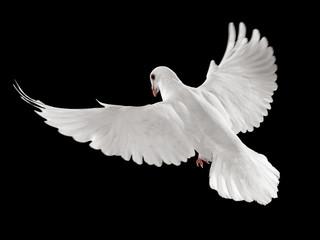 Wall Mural - pigeon in flight