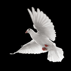 Wall Mural - white dove in flight