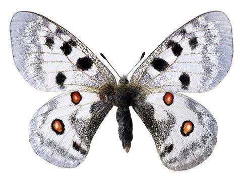 Détourage d'un papillon apollon