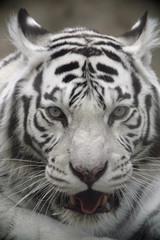 White Tiger Portrait Close Up