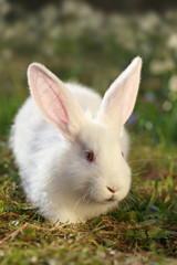 rabbit albino