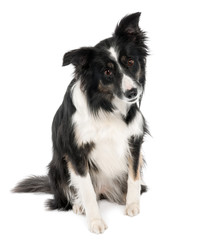 Border Collie (5 years old)