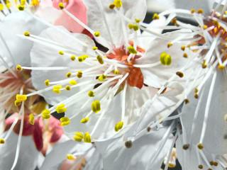 cherry, blossom