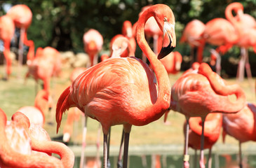 Aluminium Prints Flamingo red flamingo in a park in Florida