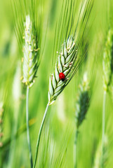 Ladybird on the green spike of wheat.