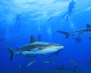 Shark with Scuba Divers silhouetted in background