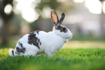 Rabbit on green grass.