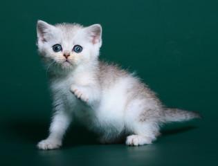 Scottish kitten.