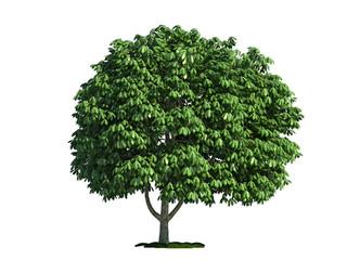 isolated tree on white, horse chestnut (salix aesculus)