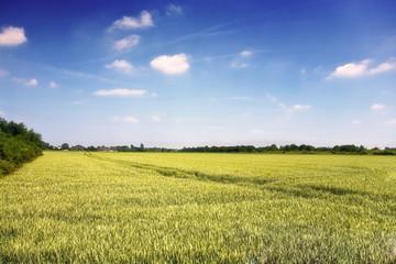 Gelbes Kornfeld, weiße Wolken und ein blauer Himmel