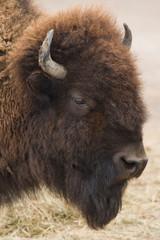 Fototapeta American bison or buffalo