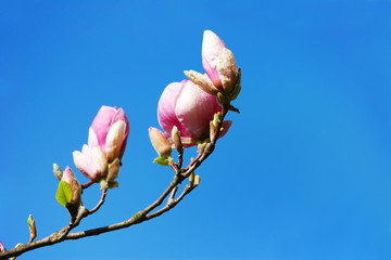 Flowering magnolia tree branches