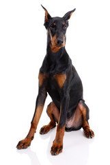 black and brown doberman on white background