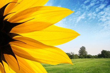 Wall Mural - Sunflower over countryside landscape