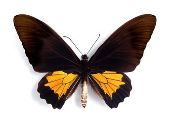 Troides oblongomaculatus (male)