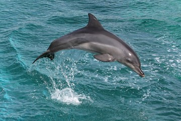 Photo sur Aluminium Dauphins Dolphin Leap