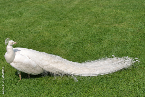 pavone bianco\