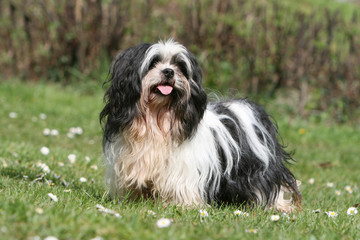 joli chien du tibet lhassa apso tirant la langue