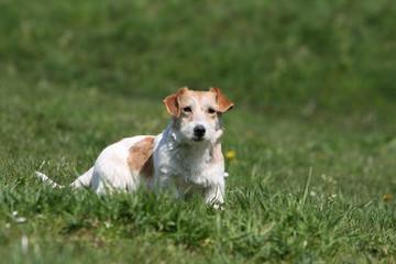 jack russel terrier adulte de face à l'air attentif