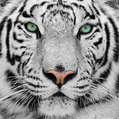 Photo sur Aluminium Tigre white tiger