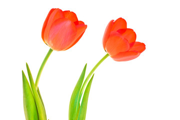 Two isolated tulips