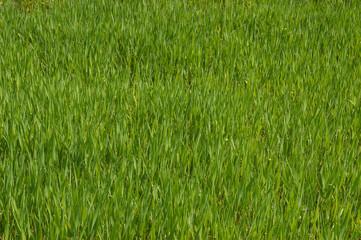 herbe tendre
