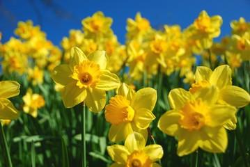 Stores à enrouleur Narcisse Gelbe Narzissen (Osterglocken)