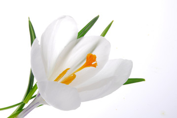 white crocus flower