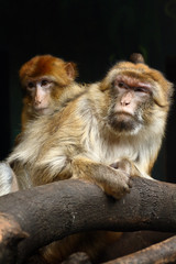 Two Barbary Macaques (Macaca sylvanus) sitting on a branch