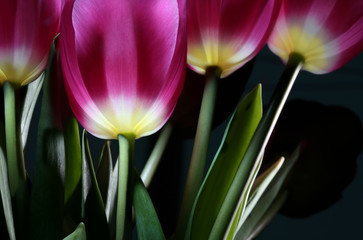magic tulips