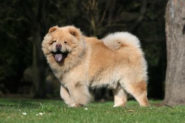 chow chow se baladant fièrement dans le jardin vu de profil