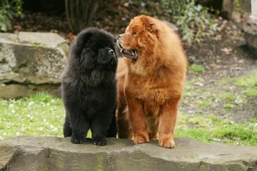 deux chow chow aux regards qui se croisent dans le jardin