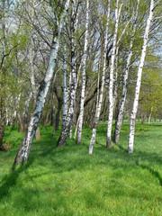 Spoed Foto op Canvas Berkbosje Birches in park