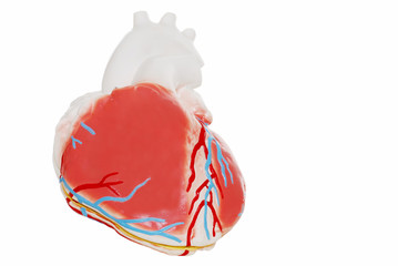Isolated human Heart on a white background