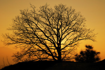 Quercia al tramonto