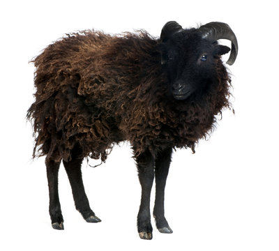Black sheep - Ouessant ram (4 years old)