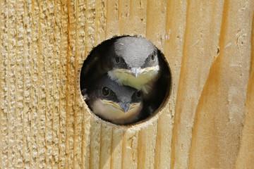 Fotoväggar - Baby Birds In a Bird House