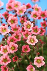 Tuinposter Azalea little pink