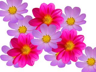 Photo sur Toile Dahlia Flowers red blue camomiles decorative