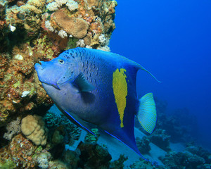 Yellowbar (Arabian) Angelfish (Pomacanthus maculosus)