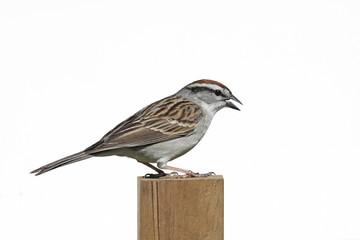 Fotoväggar - Chipping Sparrow (Spizella passerina)