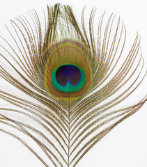 Close up of an isolated Peacock Feather